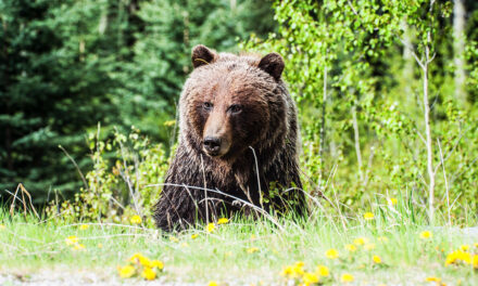 First Nations Leaders Speak Up for the Grizzly Bear