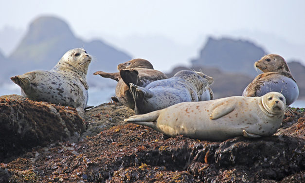 """How I Joined the Seal Herd Too,"" by Rob Budde"