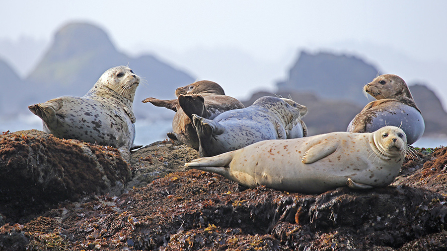 """""""How I Joined the Seal Herd Too,"""" by Rob Budde"""